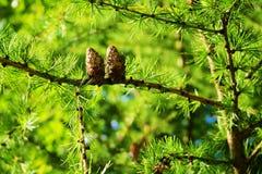 Coni del larice Il mulino di Larix decidua del larice europeo si ramifica con i coni ed il fogliame del seme sull'albero di laric immagini stock
