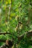 Coni del larice sul ramoscello in primavera Fotografia Stock Libera da Diritti
