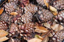 Coni del pino Immagine Stock
