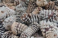 Coni del pino Fotografia Stock Libera da Diritti