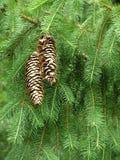 Coni del pino Immagini Stock Libere da Diritti