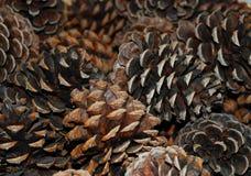Coni del pino Fotografie Stock