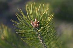 Coni del pino del bambino Fotografia Stock