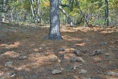 Coni del pino 13 del cedro Fotografie Stock Libere da Diritti