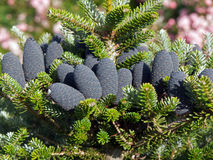 Coni del pino dell'albero di Natale sulla filiale con i fogli Fotografie Stock Libere da Diritti