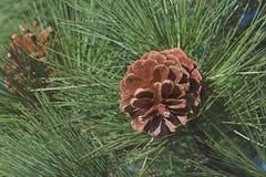 Coni del pino di inverno Fotografia Stock