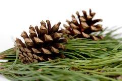 Coni del pino isolati sopra bianco Immagini Stock