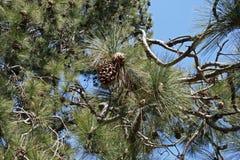 Coni del pino su un albero Immagini Stock Libere da Diritti
