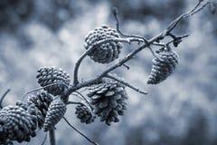 Coni del pino sul ramo Fotografie Stock Libere da Diritti