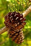 Coni del pino sulla filiale Fotografie Stock Libere da Diritti