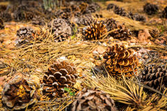 Coni del pino sulla terra Immagine Stock
