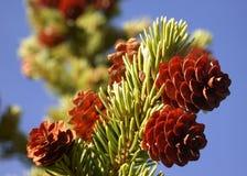 Coni del pino vivente sulla filiale fotografia stock libera da diritti