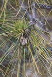 Coni del polline del pino di Ponderosa Fotografie Stock Libere da Diritti