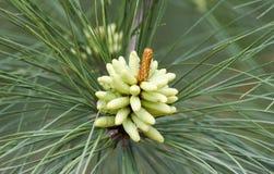 Coni del polline del pino rigido della primavera in Georgia, U.S.A. Fotografie Stock