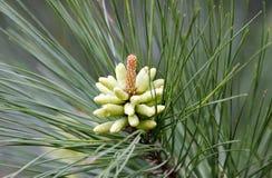 Coni del polline del pino rigido della primavera in Georgia, U.S.A. Immagini Stock