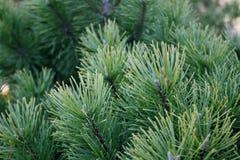 Coni dell'albero del nuovo anno Fotografia Stock Libera da Diritti