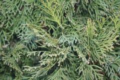 Coni dell'albero del nuovo anno Fotografie Stock Libere da Diritti