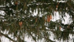 Coni dell'albero di abete su un ramo Abete rosso sempreverde durante le precipitazioni nevose di inverno E archivi video
