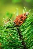 Coni della conifera Fiore maschio del polline di pinus sylvestris del pino scozzese o scozzese giovane e cono femminile verde immagine stock libera da diritti