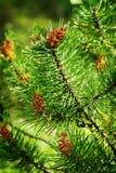Coni della conifera Fiori maschii del polline di pinus sylvestris del pino scozzese o scozzese giovani e cono femminile fotografia stock libera da diritti