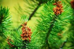 Coni della conifera Polline maschio dell'albero di pinus sylvestris del pino scozzese o scozzese il giovane fiorisce fotografie stock libere da diritti