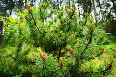 Coni della conifera Polline maschio dell'albero di pinus sylvestris del pino scozzese o scozzese il giovane fiorisce fotografia stock