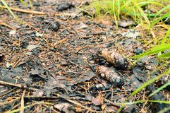 Coni di abete nella foresta sulla strada fotografie stock libere da diritti