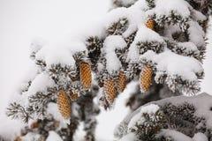 Coni di abete nella neve Fotografia Stock Libera da Diritti