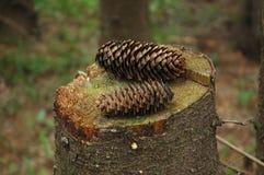 Coni di abete sul ceppo in foresta Immagine Stock