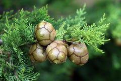 Coni di Cypress Fotografie Stock