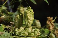 Coni di luppolo freschi verdi per la fabbricazione del primo piano del pane e della birra fotografia stock