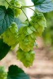 Coni di luppolo - materia prima per produzione della birra, Immagini Stock Libere da Diritti
