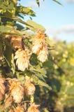 Coni di luppolo verdi Fotografie Stock
