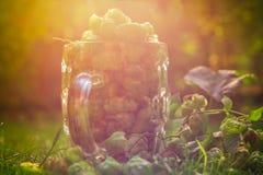 Coni di luppolo verdi pieni della tazza di vetro Fotografia Stock
