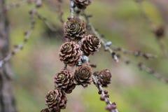 Coni di tempo di primavera fotografie stock libere da diritti