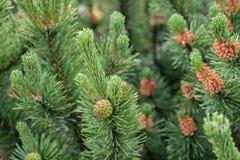 Coni e fiori del pino montano sul ramoscello Fotografie Stock