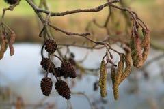 Coni e fiori dell'albero di ontano Immagine Stock Libera da Diritti