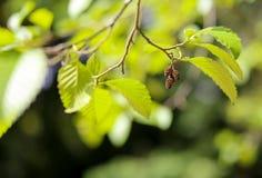 Coni e foglie verdi del ramoscello di un alnus rubra dell'ontano rosso Immagini Stock