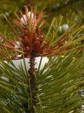 Coni e neve del pino immagini stock libere da diritti