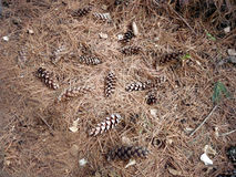 Coni nella foresta Immagini Stock Libere da Diritti