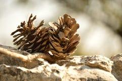 Coni nella foresta Fotografia Stock Libera da Diritti