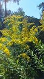Coni retinici gialli Fotografie Stock Libere da Diritti