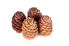 Coni siberiani del pino Immagini Stock