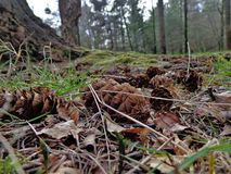 Coni su Forest Floor Immagini Stock