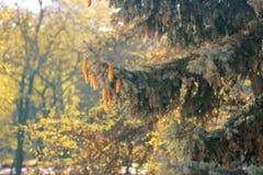 Coni su un albero Fotografia Stock