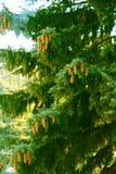 Coni su un albero Immagini Stock
