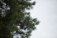 Coni sugli alberi Immagini Stock Libere da Diritti
