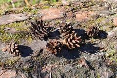 Coni sui coni di un ceppo su un ceppo Fotografie Stock Libere da Diritti