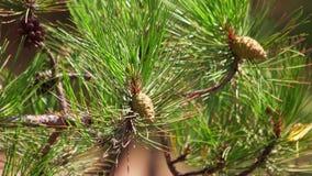 Coni verdi del pino video d archivio