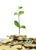 Conia l'albero dei soldi Immagine Stock